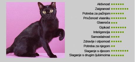 Bombajska mačka - Karakteristike