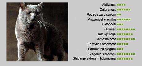 Britanska kratkodlaka mačka - Karakteristike