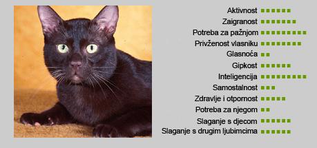 Smeđa havana mačka - Karakteristike