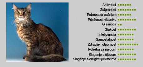 Maine coon mačka - Karakteristike