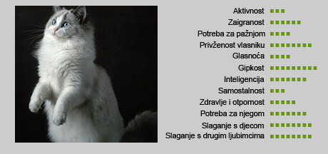 Ragdoll mačka - Karakteristike