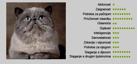 egzotična mačka - karakteristike