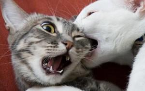 Kako zaustaviti sukob između mačaka